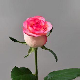 Роза Джумиллия