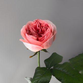 Роза пионовидная персиковая