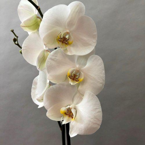 Орхидея микс